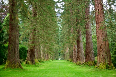 Empty park alley with  giant sequoia trees