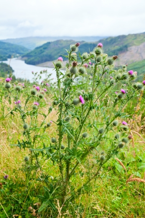 thistle: Scotlands floral emblem the thistle