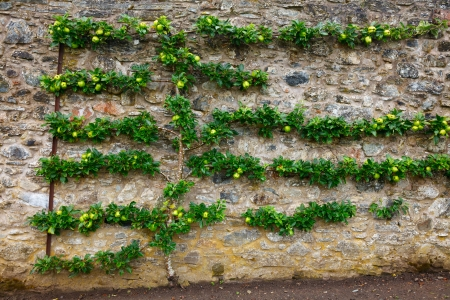 trained: Horizontal espalier fruit tree trained on stone wall