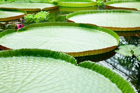 Floating leaves of amazon water lily Victoria photo