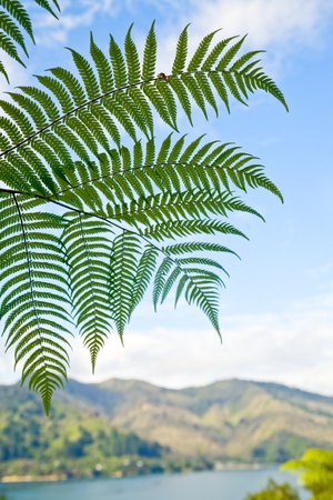 Fern leaves against blue sky in New Zealand photo