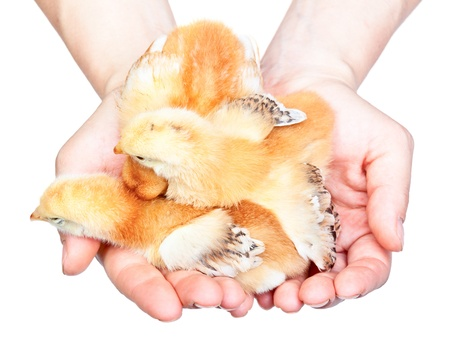 Women holding baby chickens isolated on white background photo