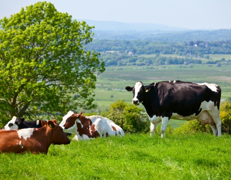 Holstein cows grazing at pasture in England photo
