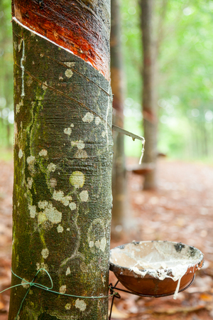 Latex being collected from a tapped rubber tree in Vietnam Stock Photo
