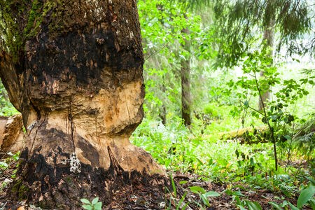 gnaw: Tree chewed by beaver at forest Stock Photo