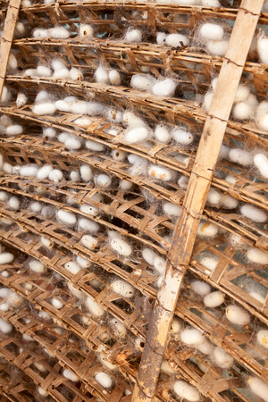 silkworm: Frame with silkworm cocoons at a silk factory