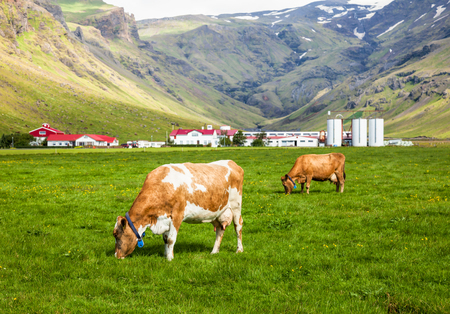 holstein cow: Brown Holstein cow grazing at pasture in Iceland with dairy farm in background Stock Photo