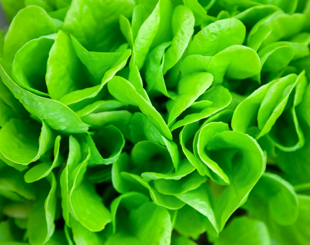 Green salad leaves close up Stock Photo