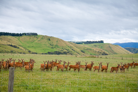 Deer grazing at a pasture in New Zealand