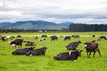 Cows grazing at a pasture in New Zealand 스톡 콘텐츠