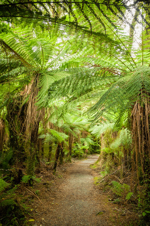 evergreen: Pathway through dense temperate rainforest with fern trees in New Zealand Stock Photo