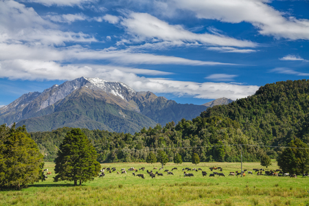 grazing: Cows grazing at a pasture in New Zealand Stock Photo