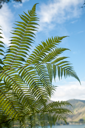 marlborough: Fern tree leaves against blue sky at Queen Charlotte Track in Marlborough Sounds South Island New Zealand Stock Photo