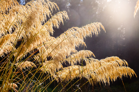commonly: New Zealand native Austroderia grass  commonly known as Toetoe or Toitoi
