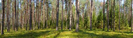 Vista panorámica del bosque de abetos en un día de verano