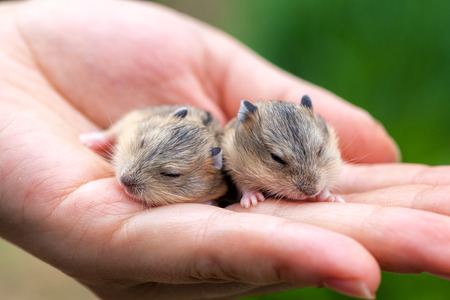 Close-up of two baby hamsters held in hand