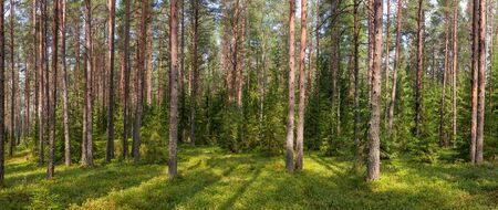 evergreen: Panoramic view of boreal forest on a summer day Stock Photo