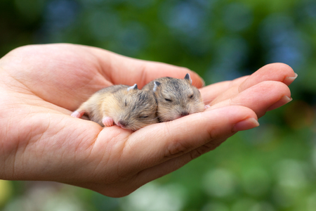 hamsters: Close-up of two baby hamsters held in hand