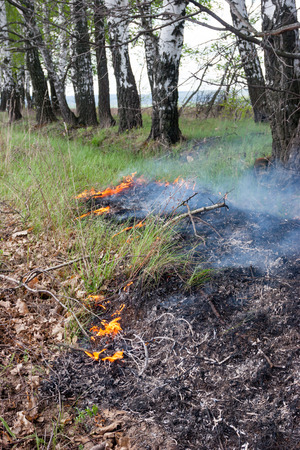 Crawling fire of burning grass in a spring forest Stock Photo