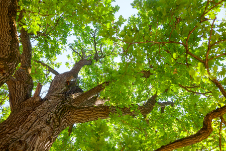 greenwood: Green leaves on oak tree against sunny sky in a summer