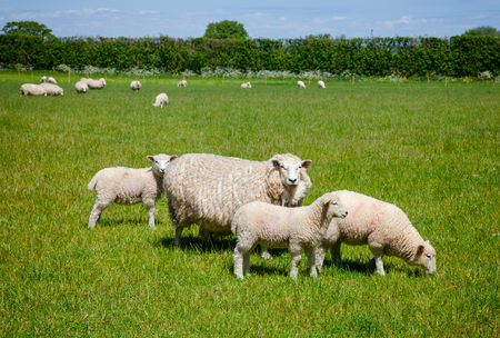 Sheep with lambs grazing on the South Downs hill in rural Sussex, Southern England, UK