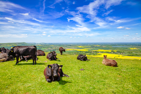 Black Aberdeen Angus beef cattle at pasture on the South Downs hill in rural Sussex, Southern England, UK Фото со стока
