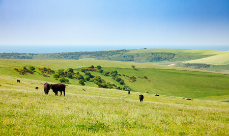 Black Aberdeen Angus beef cattle at pasture on the South Downs hill in rural Sussex, Southern England, UK Reklamní fotografie