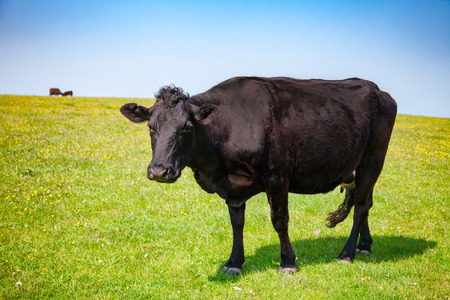 Black Aberdeen Angus beef cattle at pasture on the South Downs hill in rural Sussex, Southern England, UK Foto de archivo