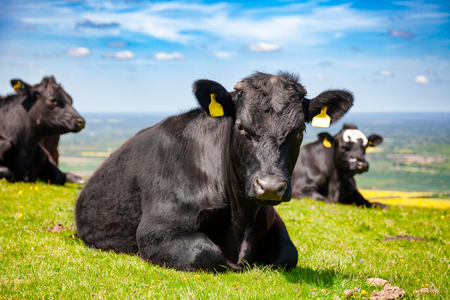 Black Aberdeen Angus beef cattle at pasture on the South Downs hill in rural Sussex, Southern England, UK 写真素材