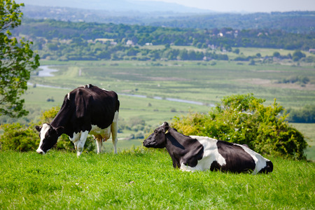 Holstein Friesian dairy cattle at pasture on the South Downs hill in rural Sussex, Southern England, UK Foto de archivo