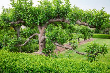 Horizontal free standing espaliered fruit tree Stock Photo