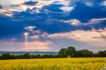 Summer landscape with dramatic sky over yellow blooming rapeseed field in Southern England, UK. Rapeseed, oilseed rape or charlock is cultivated for its oil-rich seed as a source of vegetable oil