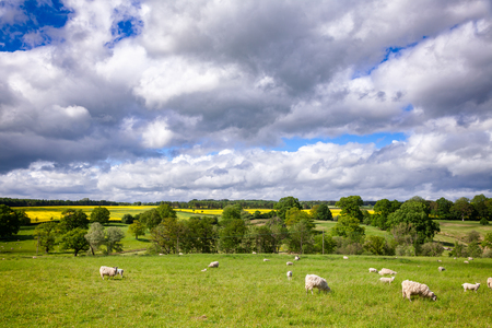 Sheep with lambs grazing on the South Downs hill in rural Sussex, South East England, UK Stok Fotoğraf
