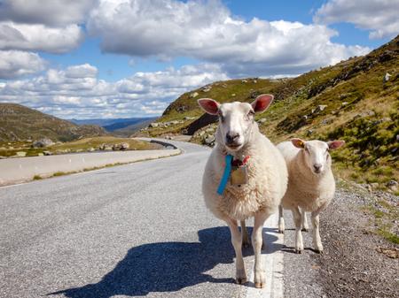 Rree range sheep and lamb standing on a mountain road in Norway, Scandinavia - animal road hazard concept Banco de Imagens