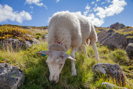 Rree range sheep grazing on a mountain slope in Norway on a bright summer day Standard-Bild - 118217090