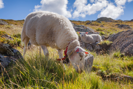 Rree range sheep grazing on a mountain slope in Norway on a bright summer day Standard-Bild - 118217093