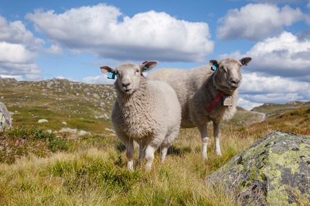Rree range sheep grazing on a mountain slope in Norway on a bright summer day Standard-Bild - 118217094