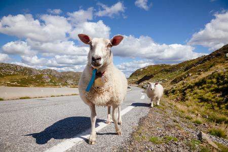 Rree range sheep and lamb standing on a mountain road in Norway, Scandinavia - animal road hazard concept Standard-Bild - 118217095