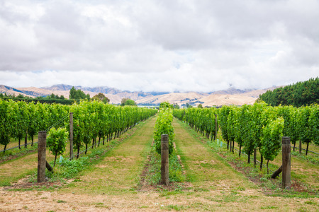 Ripening white grapes at vineyard in Marlborough Region, country's largest winegrowing region with distinctive soils and climatic conditions, South Island of New Zealand