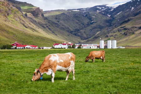 Icelandic rural scene with free range grazing red and white Holstein Friesian breed dairy cattle in a pasture with farm buildings in background, Iceland, Scandinavia 写真素材