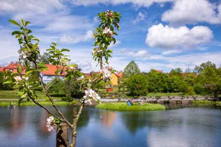 Blooming apple tree with town park and Rothenburg pond at background, Dinkelsbuhl Old Town, Central Franconia, Bavaria, Germany, a popular travel destination on Romantic Road touristic route