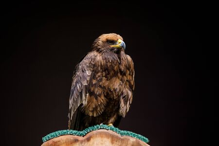 Steppe Eagle, a large bird of prey with rich brown plumage, sitting on a perch with dark background Stock fotó