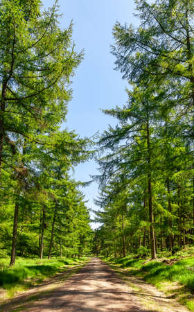 Scenic country road through fir forest in Southern England UK on a sunny summer day