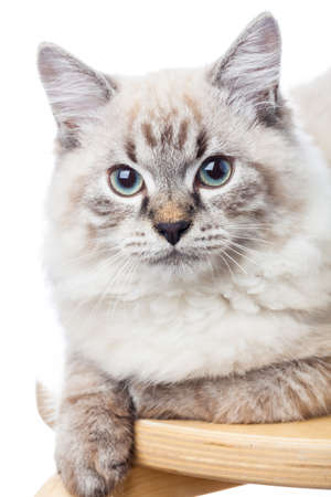 Portrait of blue-eyed male Neva Masquerade Colorpoint kitten