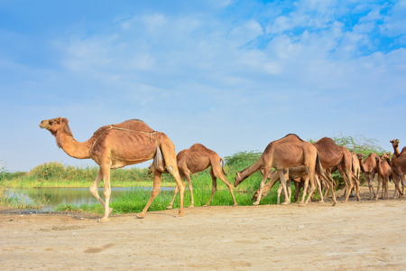 Group of Camels eating grass