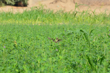 Flying Eurasian Tree Sparrow (Passer montanus) in autumn. Saudi arabia