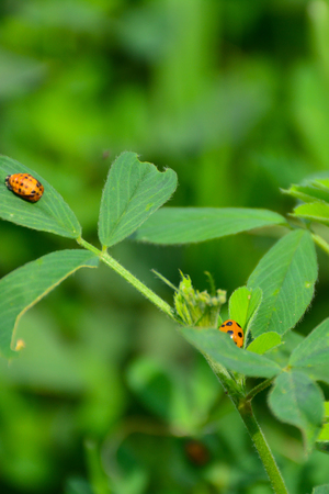 Ladybug on Green Grass Over Green Bachground