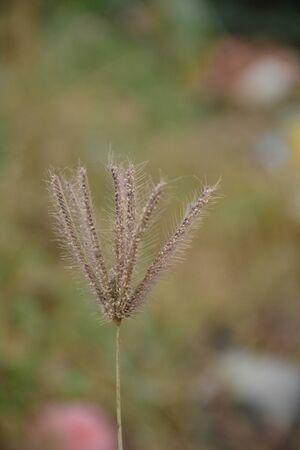 Wild grass flower Stock Photo