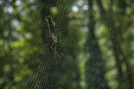 Nephila pilipes spider on web