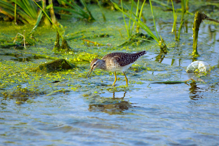 Sandpiper feeding in lake, Jeddah - Saudi arabia Stock Photo